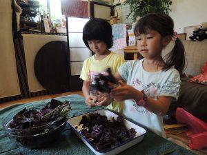 今が旬!食育教室で赤紫蘇ジュースとゆかり作り、そしてお箸の持ち方選び方