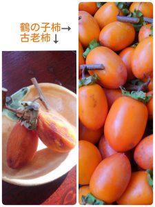 鶴の子柿と古老柿